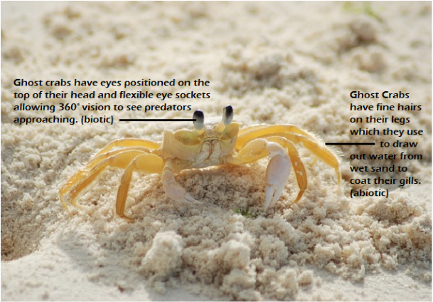 Ghost Crab Living Planet